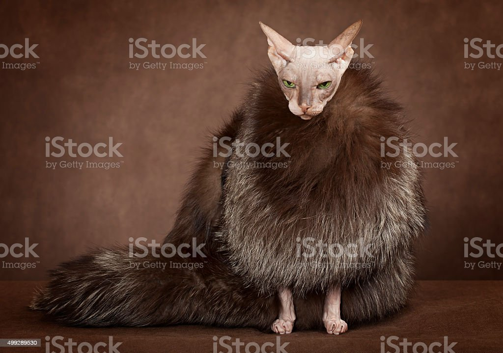 Sphinx cat wearing a coat with fur stock photo
