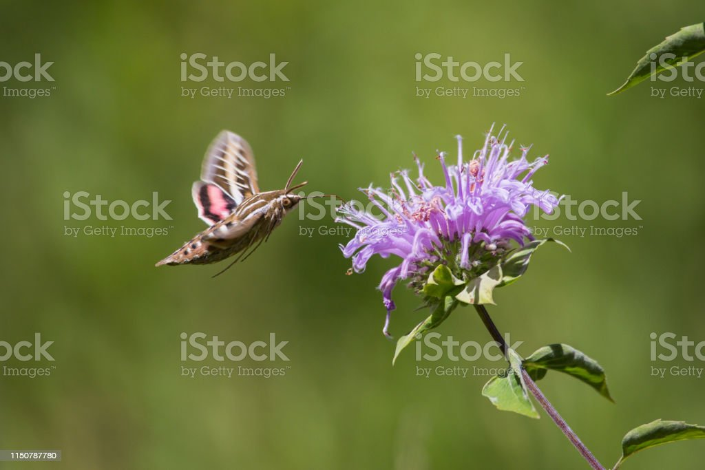 Sphinx Moth - Royalty-free Butterfly - Insect Stock Photo