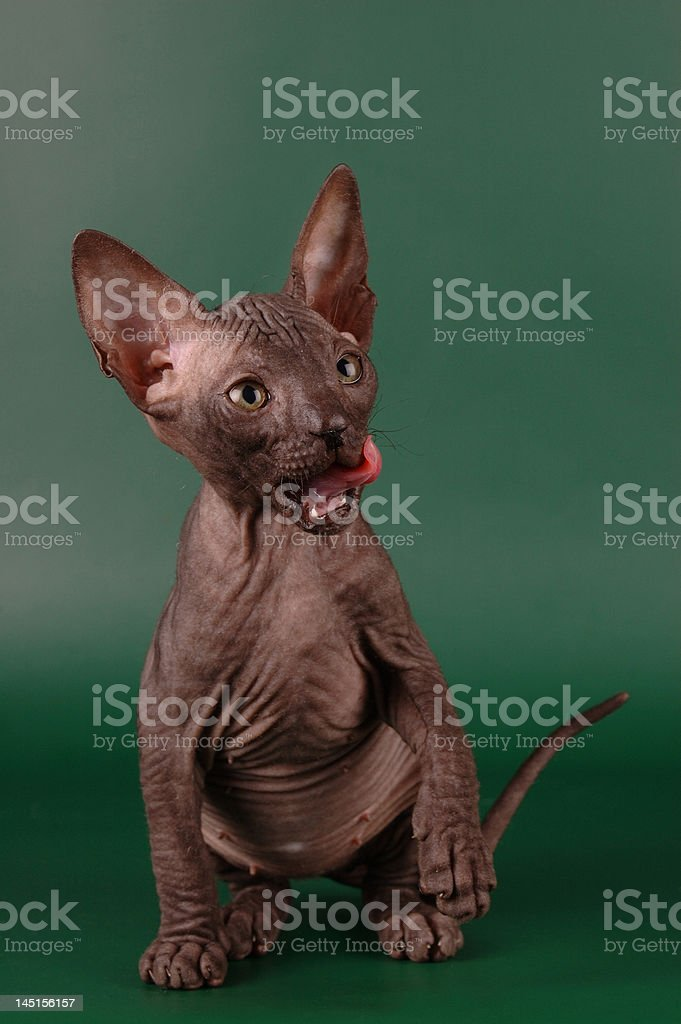 tiny hairless Lick their