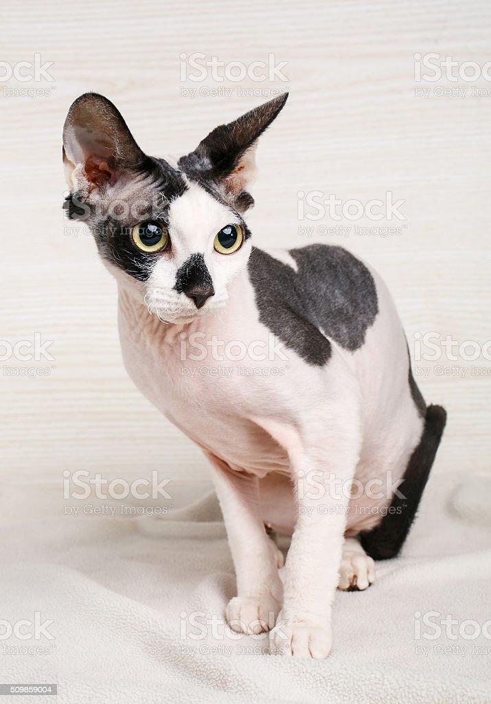 Gatto Sphynx Bianco E Nero Su Sfondo In Legno Fotografie Stock E