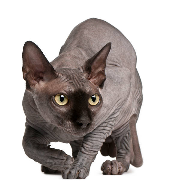 Sphynx cat 11 months old crouching white background picture id119650976?b=1&k=6&m=119650976&s=612x612&w=0&h=skineydxslsziayampaluhhwff ew3ehtsayrtwb6s8=