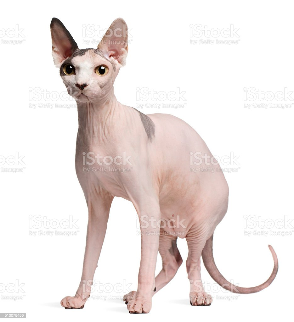 Sphynx cat, 13 months old, standing stock photo