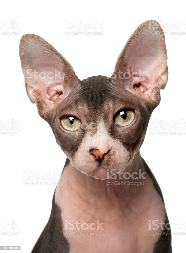 Sphynx cat, 7 months old, in front of white background stock photo
