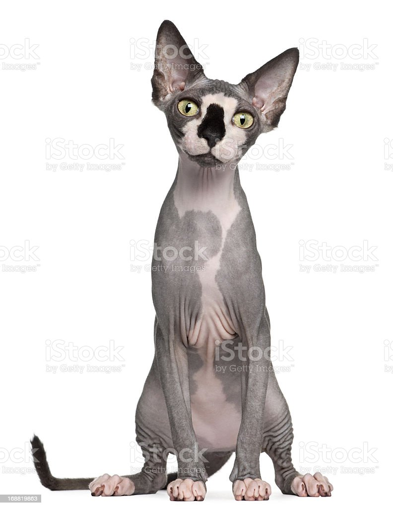 Sphynx cat, 8 months old, sitting in front stock photo
