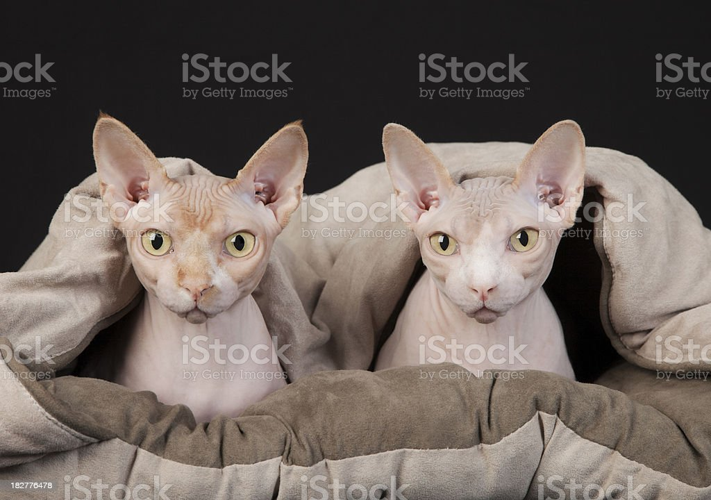 Sphynx Cat Couple Under the Covers stock photo