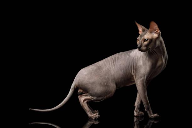 Sphynx Cat on isolated black background stock photo