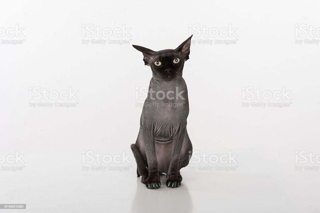 Sphynx Cat  on white background stock photo