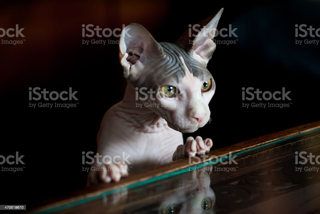 Sphynx cat reflected on glass table. Black background stock photo