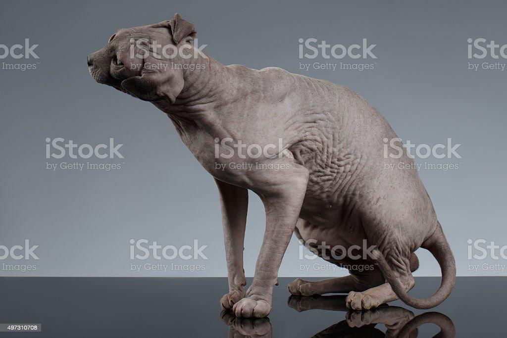 Sphynx Kot Gonty Jego Głowa Na Czarny Stockowe Zdjęcia I Więcej