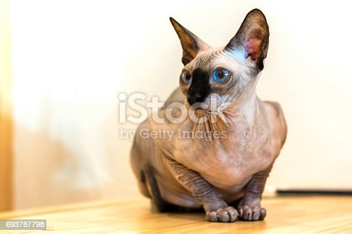 Sphynx cat sitting and looking something on wooden floor