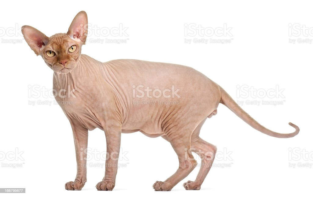 Sphynx cat standing in front of white background stock photo