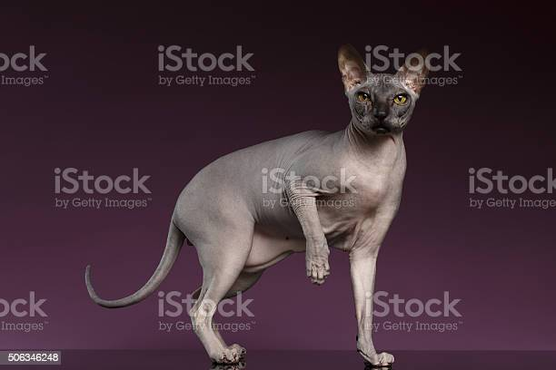 Sphynx cat stands and raise up paw on purple picture id506346248?b=1&k=6&m=506346248&s=612x612&h=cxl5r0zfxoon u5e0mo4efgn7tau2 bp7ewqb56oark=