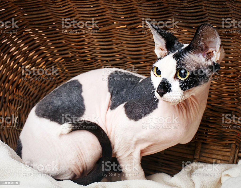 Sphynx Cats Inside a Wooden Basket Looking Up stock photo