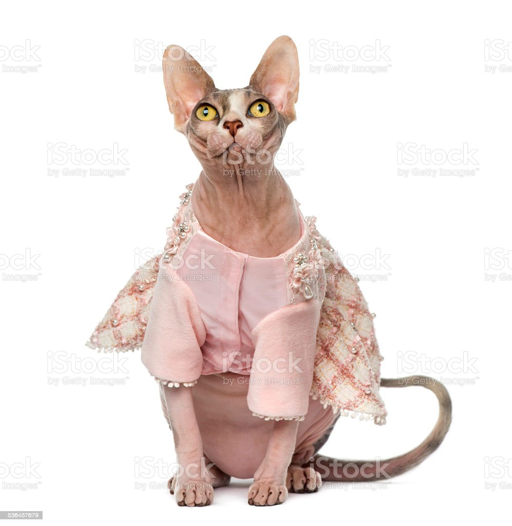 Sphynx dressed (1 year old) stock photo