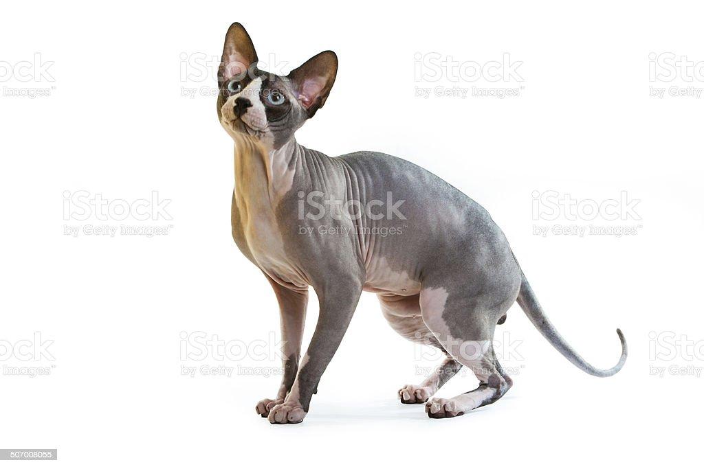 Sphynx hairless cat stock photo