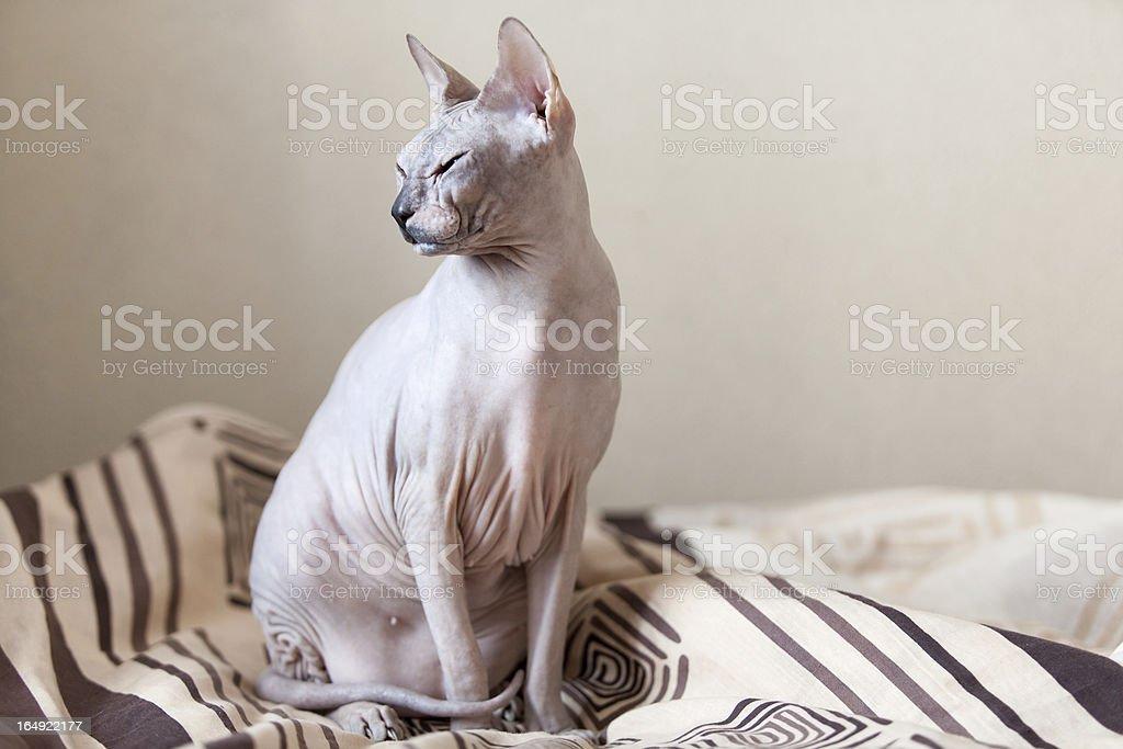 Sphynx hairless cat sitting on blanket royalty-free stock photo
