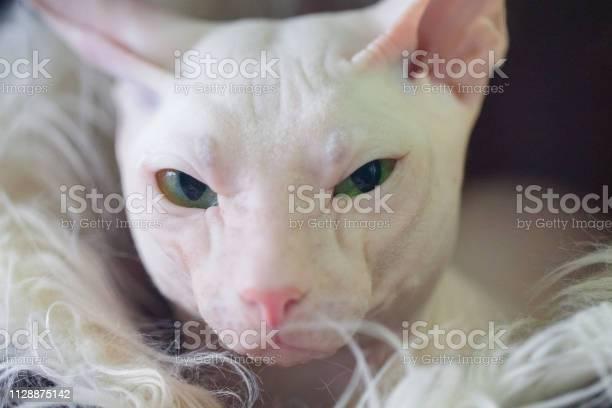 Sphynx hairless kitten cat picture id1128875142?b=1&k=6&m=1128875142&s=612x612&h=lrj7t l3h2dfpw62sslcp6fa5imma5vxcz853ogc4i0=