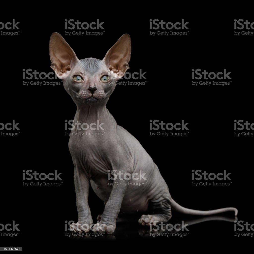 Sphynx kitten on isolated black background stock photo