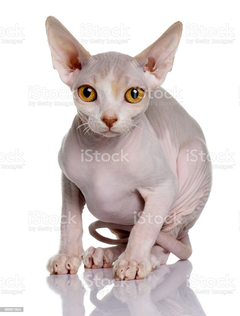 Sphynx kitten sitting and looking the camera stock photo