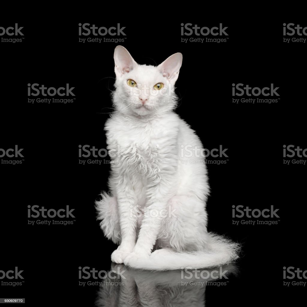 Sphynx Looking in camera Isolated on Black stock photo