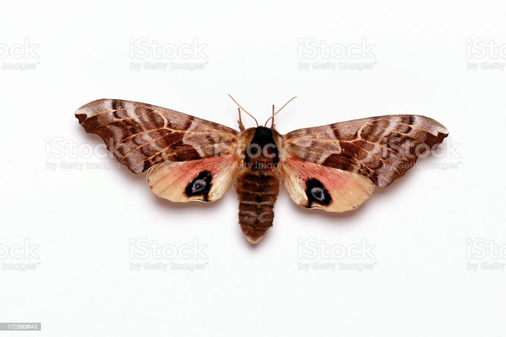 Sphynx Night Butterfly Isolated on White Background stock photo
