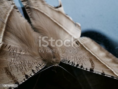 istock Sphynx Night Butterfly 1067648370