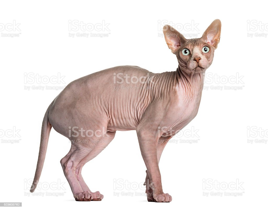 Sphynx (1 year old) stock photo
