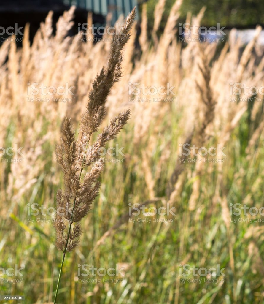 spica floral closeup background,field summer backdrop stock photo