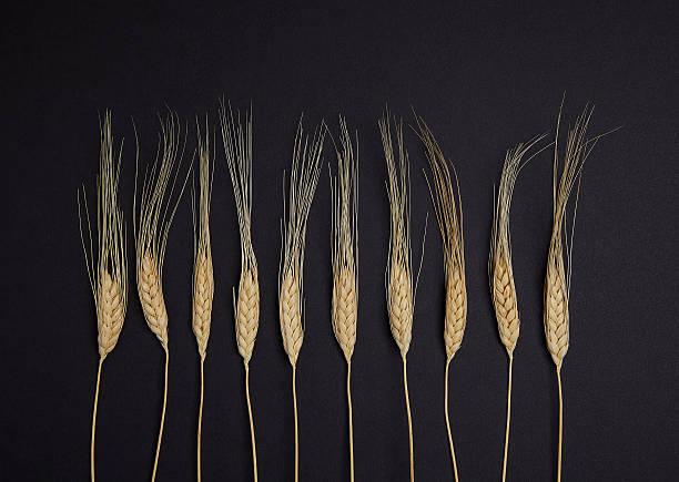 Spica wheats on a black background stock photo