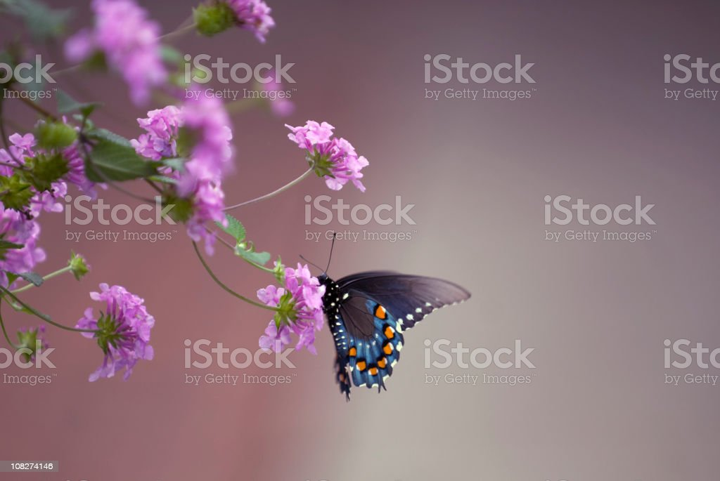 Spicbush Swallowtail Butterfly stock photo