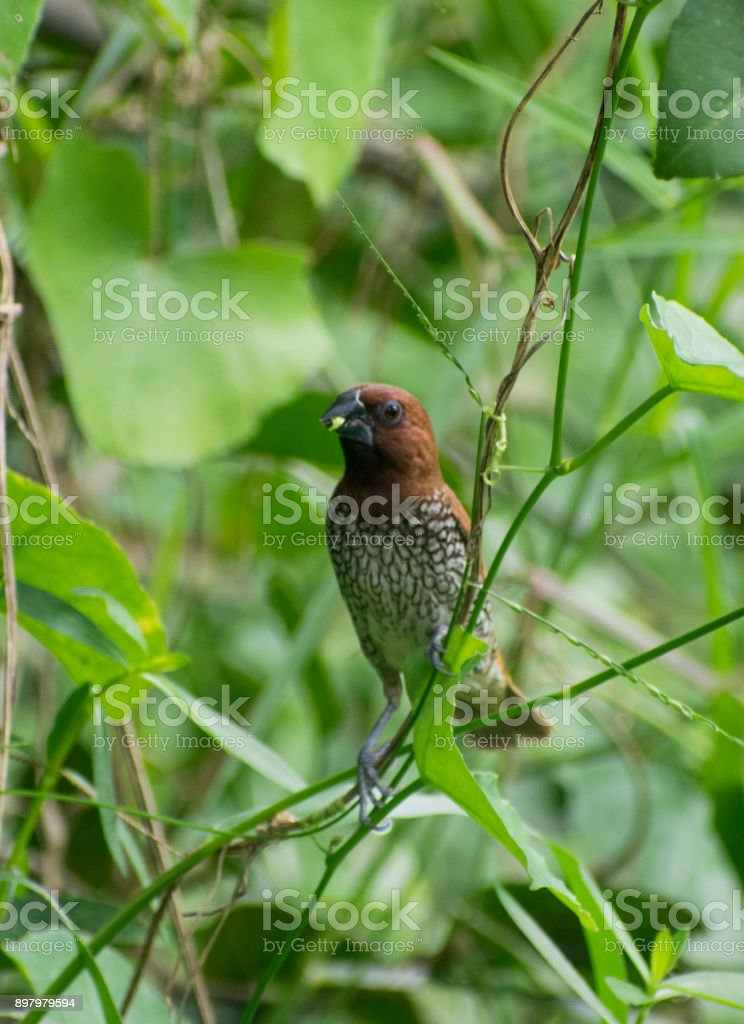 spice finch brown spotted munia eating grass seed perched on grassland close up wildlife bird habitat stock photo