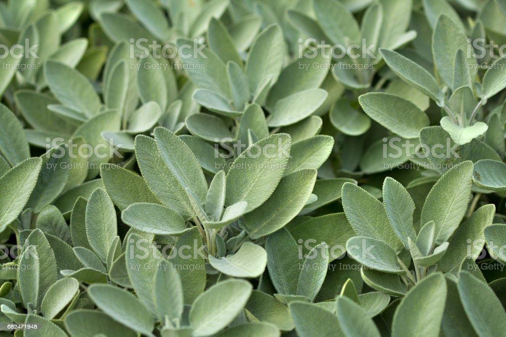Spice plant: sage, (salvia officinalis) stock photo