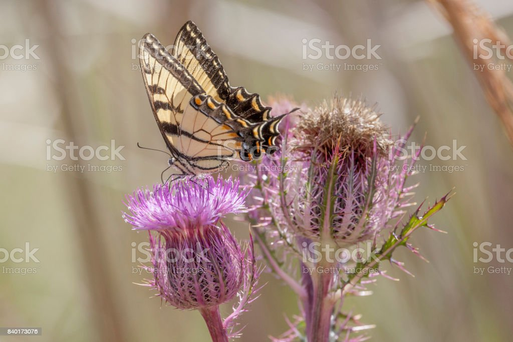 Spicebush Swallowtail Butterfly gathering nectar from a pink thistle bloom in a verdant green background stock photo