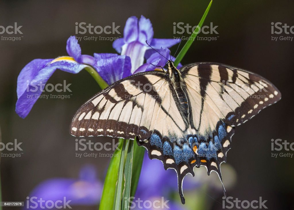 Spicebush Swallowtail Butterfly gathering nectar from a purple iris bloom stock photo