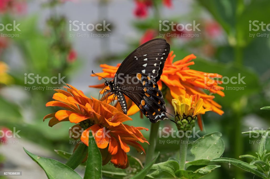 Spicebush Swallowtail stock photo