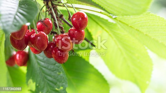 istock Spicy red cherry fruit on a tree closeup 1157340393