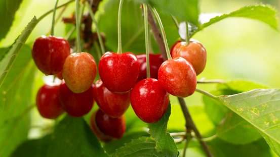 istock Spicy red cherry fruit on a tree closeup 1157340394