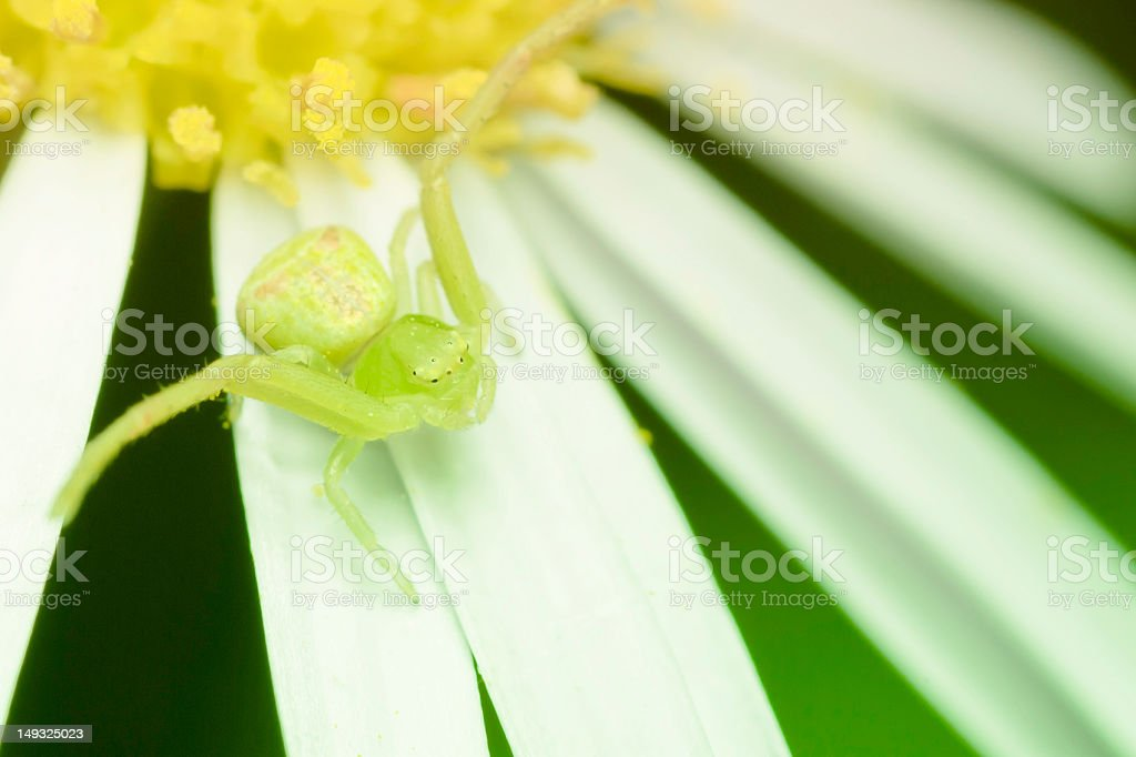 spider and chrysanthemum royalty-free stock photo