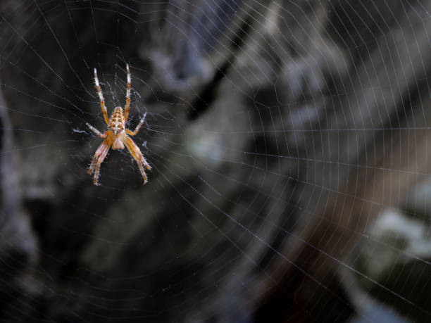Spider and its spider web waiting for a prey - foto stock