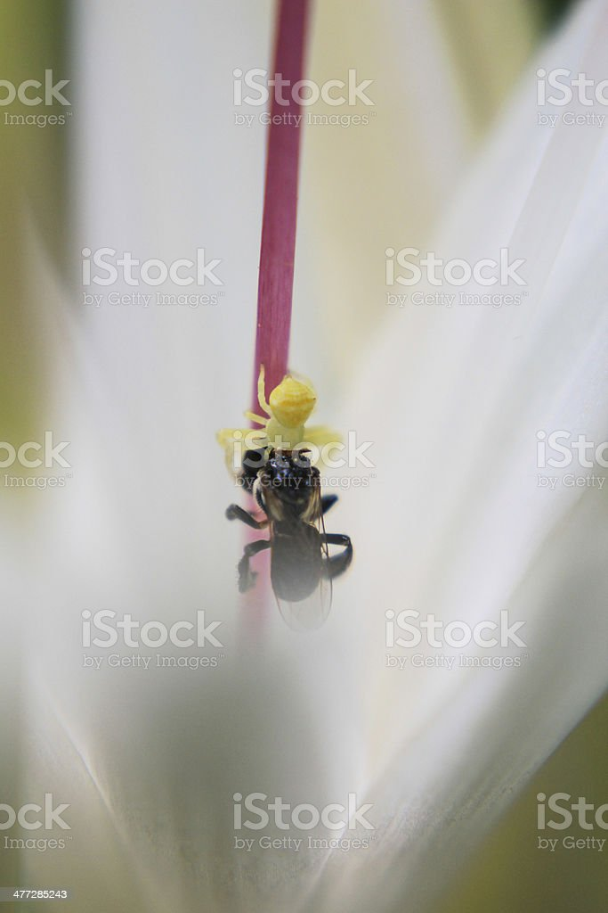 spider and pray in flower stock photo