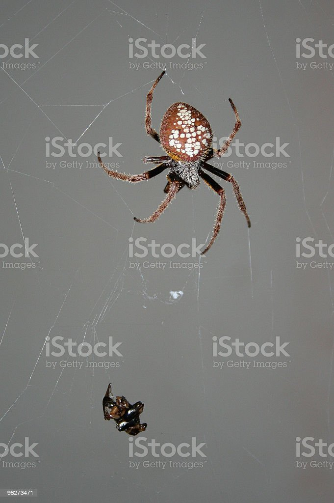 Spider and prey. royalty-free stock photo