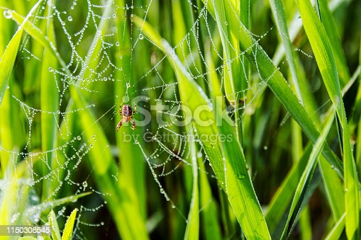 Spider and spider web covered in early morning dew drops, northern Saskatchewan.