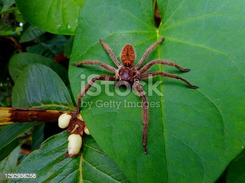 animalia familia araneae aracnídeos aranha