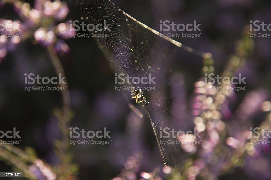 Spider - Araña stock photo