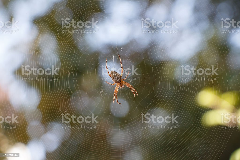 Spider Araneus in the centre of spiderweb stock photo