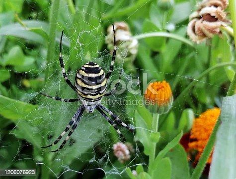 Spider Black and Yellow Garden Spider. Argiope family Araneidea.