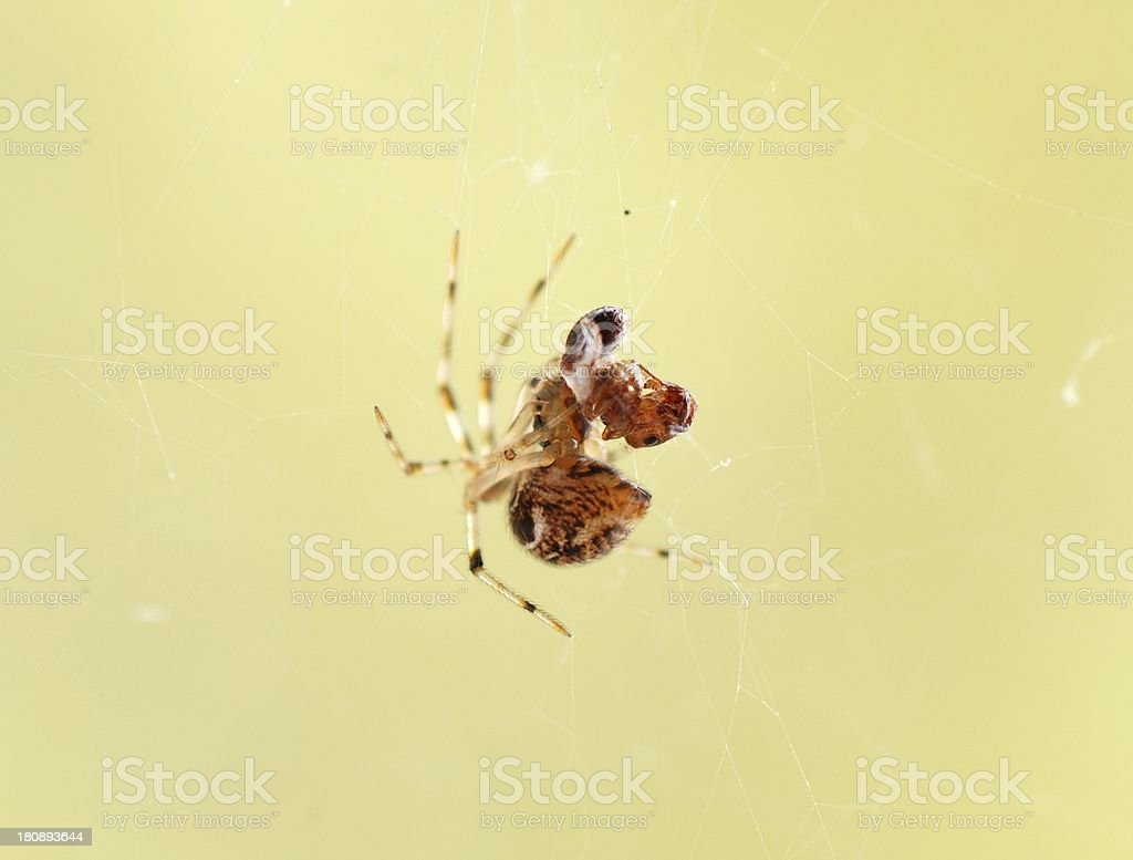 spider catch ant on web stock photo