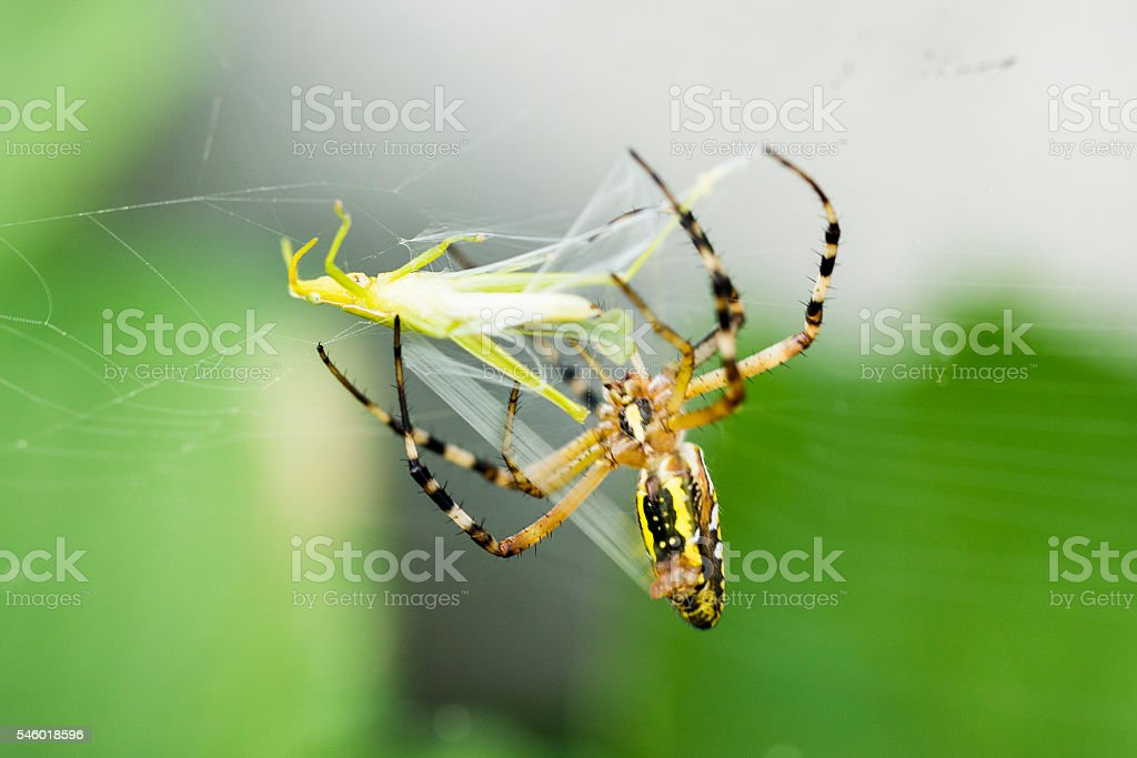 Spider Catching Insect stock photo