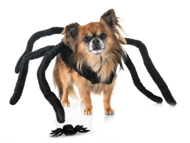 spinne chihuahua - hund spinnenkostüm stock-fotos und bilder