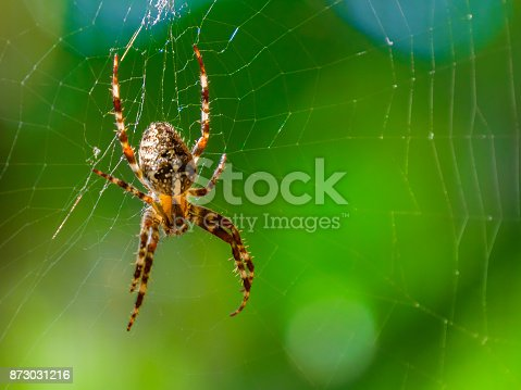 Spider on spider web with green background. Closeup of a brown spider isolated on green background. Spider close-up on a green background, horizontal photo.